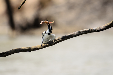 catch wrestling: Pied Kingfisher wrestling with its catch Stock Photo