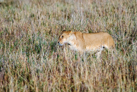 prowl: lioness on the prowl Stock Photo