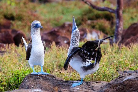 boobies: Two courting blue footed Boobies Stock Photo