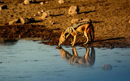 pozo de agua: Black backed Jackal and its reflection at a waterhole in Etosha