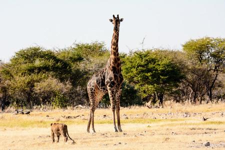 disdain: Lion cub viewing a Giraffe with disdain or is it fear Stock Photo