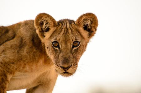 lion cub: Inquisitive Lion cub viewing us with suspicion