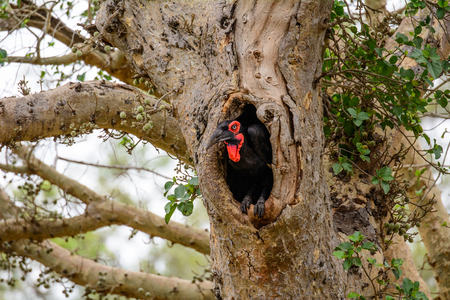birds nest: Ground Hornbill about to fly from its nest hole Stock Photo
