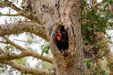 nido de pajaros: Hornbill de tierra a punto de volar desde su nido Foto de archivo