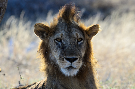 bad hair: Male lion with a bad hair day