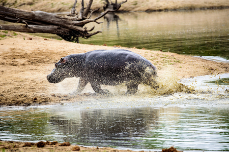 pursued: Hippo charging out of the water at speed