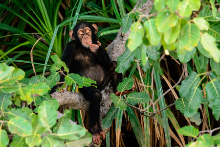 lost in thought: chimp lost in thought