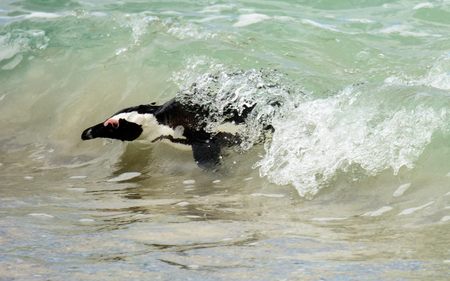 peninsula: African Penguin  swimming to the shore at the Cape Peninsula Stock Photo