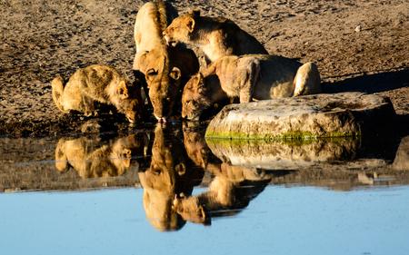 pozo de agua: Reflexiones de leones potable en una charca