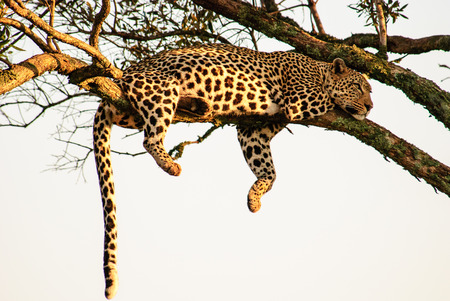 dangling: Typical pose of a Leopard,dangling its legs from the branch of a tree Stock Photo