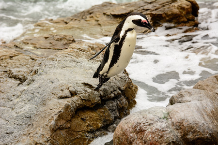 south african birds: African penguin lift off