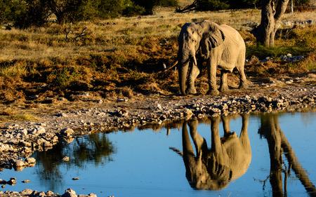 waterhole: African elephant and its reflection in a waterhole in Etosha Foto de archivo