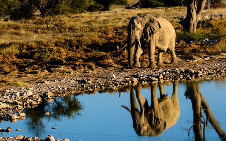 pozo de agua: elefante africano y su reflejo en una charca de Etosha Foto de archivo
