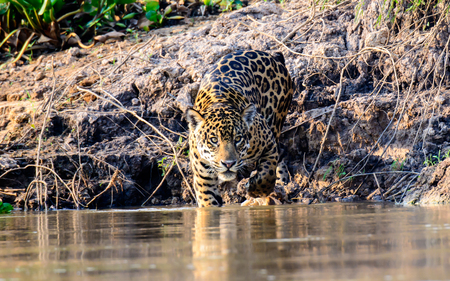 waters: Jaguar entering the waters of the Cuiaba river Stock Photo