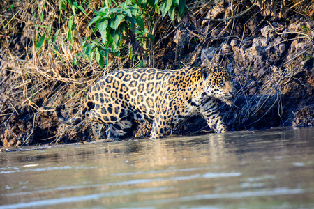 Jaguar prowling paddling in the Ciuaba river Stock Photo - 52484706