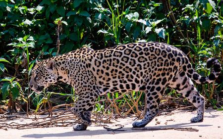 prowl: Jaguar on the prowl