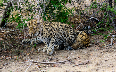disinterested: Female leopard trying to stimulate a response from her disinterested partner by sitting on his head