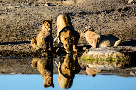 waterhole: Lions drinking at a waterhole and their reflections