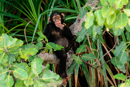 contemplative: A contemplative chimp