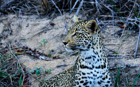 sabi sands: Head and shoulders shot of a young Leopard