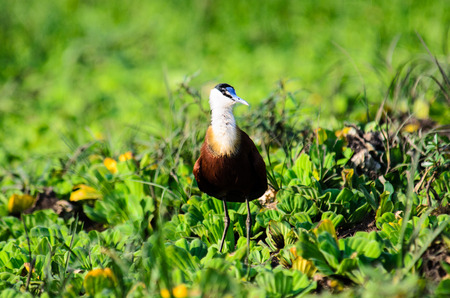 jacana: African Jacana at home in African ponds