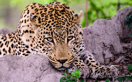 silently: Close up of the head of a Leopard watching silently Stock Photo