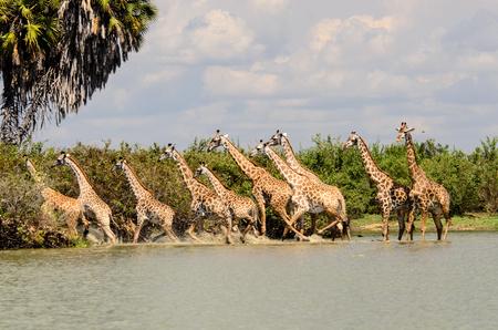 Torre off giraffe in ritirata spaventati dalla possibilità di qualcosa che è sinistro in acqua