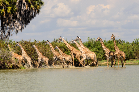 retreat: Tower off Giraffes in retreat spooked by the possibility of something sinister being in the water