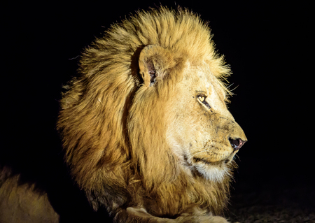 male lion: head shot of a male Lion in the darkness Stock Photo