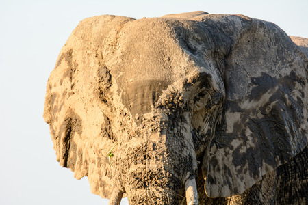 muddy: face of a muddy African Elephant
