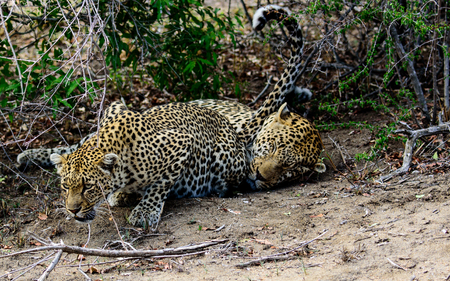disinterested: female Leopard with unresponsive male Stock Photo