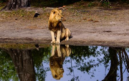 pozo de agua: Le�n masculino y la reflexi�n que se sienta por una charca
