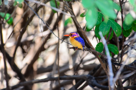 kingfisher: African pygmy Kingfisher Stock Photo