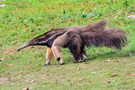 Giant Anteater searching for food