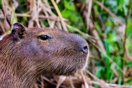 face close up: Close up of the face of a Capybara Stock Photo