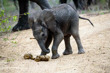 sabi sands: Elephant calf playing football with elephant dung