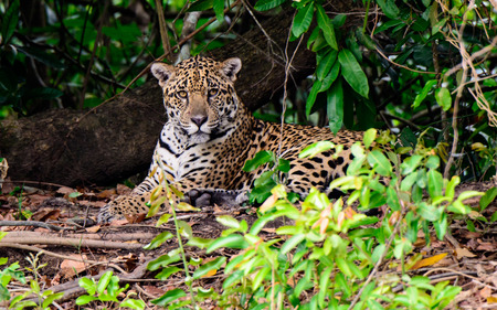 attentive: Attentive Jaguar laying on the bank