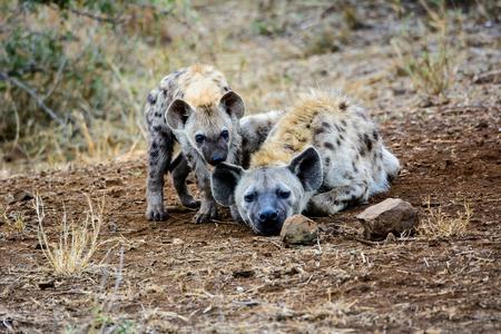 sabi: Hyena pup with mum Stock Photo