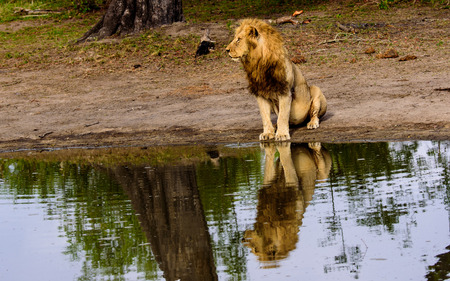 sabi sands: Reflection in water of a sitting male lion Stock Photo