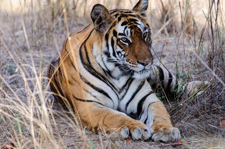 Bengal Tiger at ease