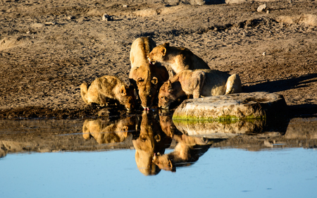 pozo de agua: Leones y sus reflexiones en una charca de Etosha