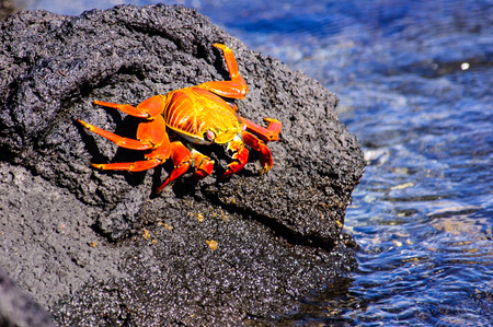 marine crustaceans: sally Lightfoot crab in the Galapagos Stock Photo