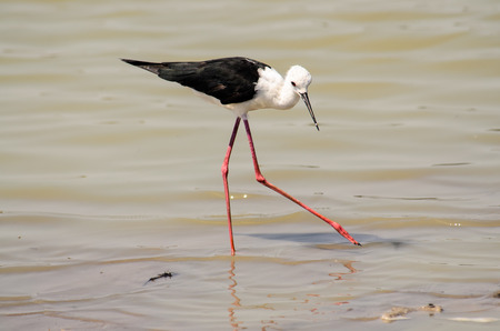 black winged stilt: Black Winged Stilt in the shallows