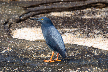 endemic: Lava Heron , an endemic species of the Galapagos