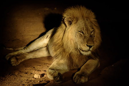 sabi sands: Lion lying down in the darkness