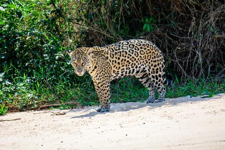 jaguar: Jaguar en la orilla del río observando de cerca los procedimientos