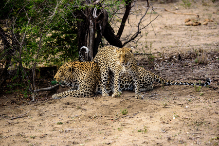 Attentive female Leopard trying to evoke some response from the male
