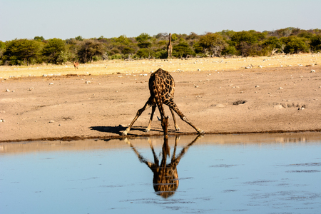 waterhole: thirsty Giraffe  drinking at a waterhole with a impressive reflection in the water