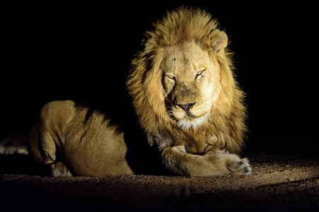 big 5: Large male lion with impressive mane in the darkness Stock Photo