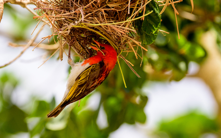 weaver bird nest: Red Headed Weaver bird in the process of finakosing its nest